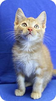 Domestic Shorthair Kitten for adoption in Winston-Salem, North Carolina - Cheddar