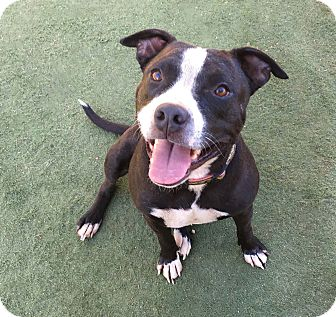 American Staffordshire Terrier Mix Dog for adoption in Toluca Lake, California - April