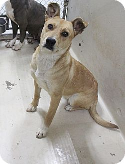 Cattle Dog Mix Dog for adoption in Odessa, Texas - A26 Carly