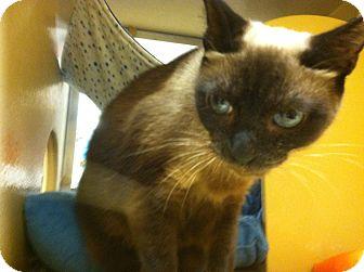 Siamese Cat for adoption in Monroe, Georgia - Marge