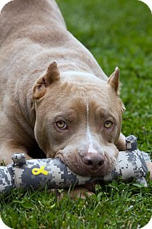 American Staffordshire Terrier/Pit Bull Terrier Mix Dog for adoption in Bellflower, California - Chauncey