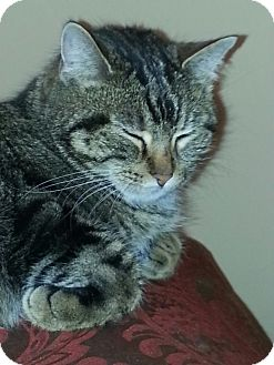 Domestic Shorthair Cat for adoption in St. Louis, Missouri - Ruthie