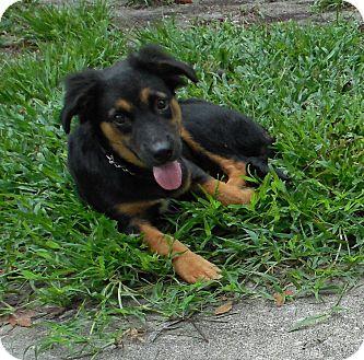 Shepherd (Unknown Type) Mix Puppy for adoption in Ormond Beach, Florida - Tina