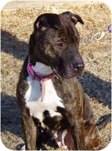 American Staffordshire Terrier/Shar Pei Mix Dog for adoption in Pascoag, Rhode Island - Zoe