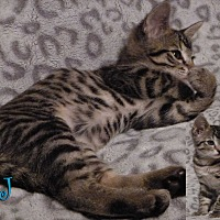 Domestic Shorthair Cat for adoption in Rosamond, California - JJ