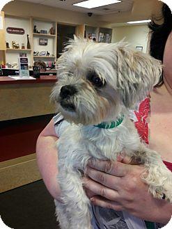 Shih Tzu/Yorkie, Yorkshire Terrier Mix Dog for adoption in Salem, Oregon - Chanel