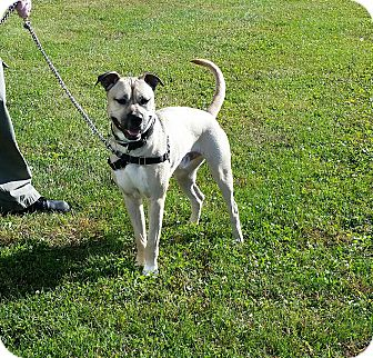 Anatolian Shepherd/Pit Bull Terrier Mix Dog for adoption in Cameron, Missouri - Vincent