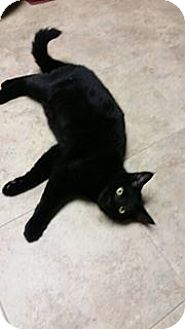 Domestic Shorthair Cat for adoption in Troy, Michigan - Darcy