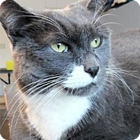 Domestic Shorthair Cat for adoption in Waupaca, Wisconsin - Misty