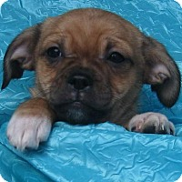 Adopt A Pet :: Queen Victoria Bassett Buddy - Cuba, NY