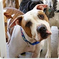 Adopt A Pet :: Bear - Los Angeles, CA