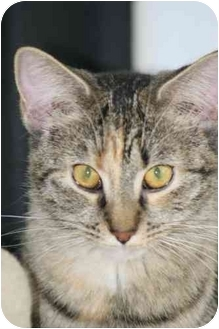 Domestic Shorthair Cat for adoption in Loveland, Colorado - Toons