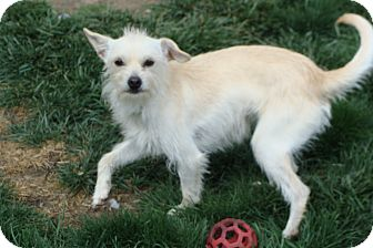 Terrier (Unknown Type, Small) Mix Dog for adoption in Tustin, California - SnowWhite