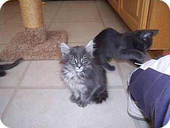 American Shorthair Kitten for adoption in Santa Monica, California - Jenna