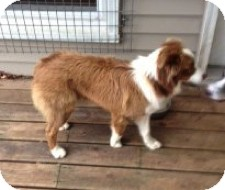 Australian Shepherd Dog for adoption in Minneapolis, Minnesota - Moose
