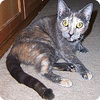 Domestic Shorthair Cat for adoption in Melbourne, Florida - Cricket