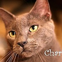 Adopt A Pet :: Charkey - Wichita Falls, TX