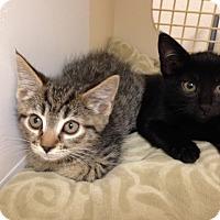 Adopt A Pet :: Kittens - Gilbert, AZ