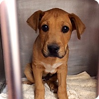 Adopt A Pet :: Duke - Westminster, CO
