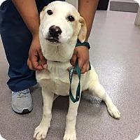 Adopt A Pet :: Madison - Cumming, GA