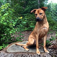 Hound (Unknown Type)/Pit Bull Terrier Mix Dog for adoption in Asheboro, North Carolina - Jerry