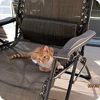 Adopt A Pet :: Orville Wright - Kirkwood, DE