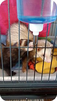 Ferret for adoption in Navarre, Florida - Louise
