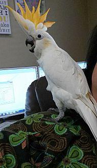 Cockatoo for adoption in Hurricane, Utah - BABY