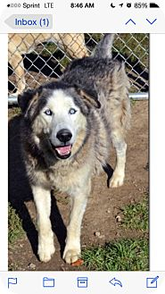 Siberian Husky Mix Dog for adoption in Elyria, Ohio - Diesel