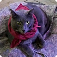 Russian Blue Cat for adoption in Tucson, Arizona - Mr. Ash