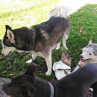 Husky Mix Dog for adoption in Alhambra, California - Tipton