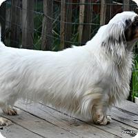 Adopt A Pet :: Sofia, 4 yrs, 13 pds, $250 fee - Spokane, WA