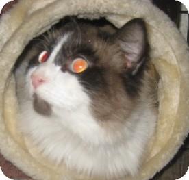 Ragdoll Cat for adoption in Dallas, Texas - DIva
