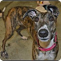 Greyhound Dog for adoption in Swanzey, New Hampshire - Posie