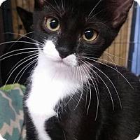 Domestic Shorthair Kitten for adoption in Freeport, New York - Elly