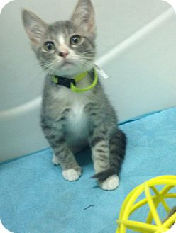 Domestic Shorthair Kitten for adoption in San Ysidro, California - Crackle