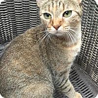 Adopt A Pet :: Haley - Houston, TX