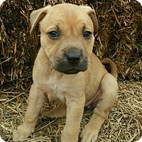 Adopt A Pet :: Tamsin pending adoption - Manchester, CT