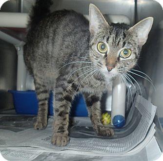 Domestic Shorthair Cat for adoption in Newport, North Carolina - Ester