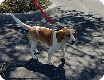 Beagle Dog for adoption in Tampa, Florida - Preacher