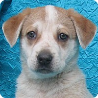 Adopt A Pet :: Pizzelle Cookie Costello - Cuba, NY