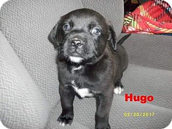 Labrador Retriever/Blue Heeler Mix Puppy for adoption in Silverdale, Washington - Hugo