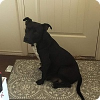 Labrador Retriever Mix Dog for adoption in Spring, Texas - Dharma