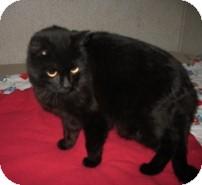 Domestic Shorthair Cat for adoption in Shelton, Washington - Mandy