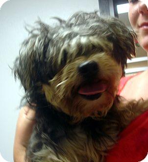 Shih Tzu/Yorkie, Yorkshire Terrier Mix Dog for adoption in Greencastle, North Carolina - Elmo