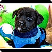 Adopt A Pet :: Twilight - Albany, NY