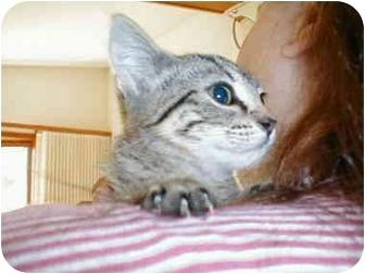 Domestic Shorthair Kitten for adoption in Proctor, Minnesota - Tinkerbelle