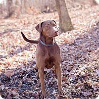 Adopt A Pet :: Gigi - Lewisville, IN