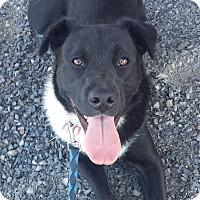 Adopt A Pet :: July - energetic young dog! - Kirkland, WA