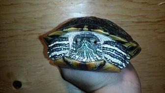 Turtle - Other for adoption in Pefferlaw, Ontario - Donashello